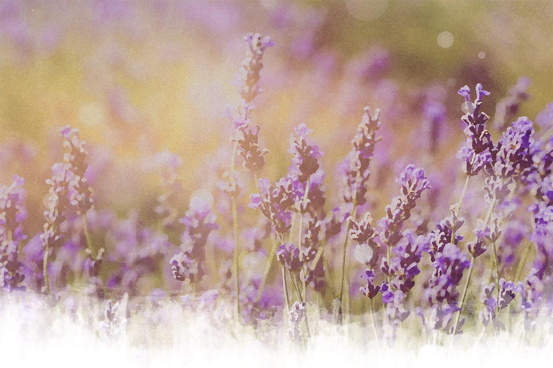 Lavendel Blumenwiese